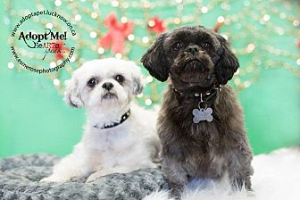 Shih Tzu Mix Dog for adoption in Lucknow, Ontario - Maggie & Pria- bonded