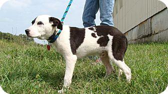 Pointer Mix Dog for adoption in Cameron, Missouri - Pongo