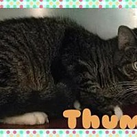 Adopt A Pet :: Thumper - Anderson, IN