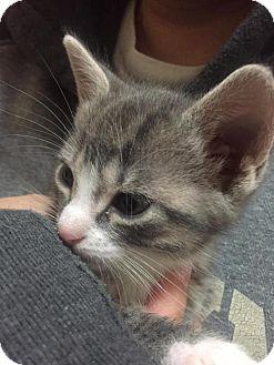 Domestic Shorthair Kitten for adoption in Orlando, Florida - Clover