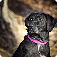 Adopt A Pet :: Coco - Loveland, CO