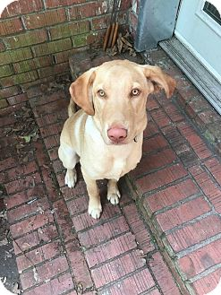 Labrador Retriever Puppy for adoption in Moyock, North Carolina - Harlow