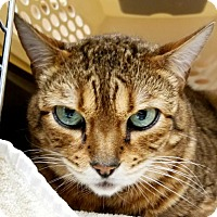 Bengal Cat for adoption in Spokane, Washington - Ava
