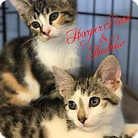 Adopt A Pet :: Harper Rose - Island Park, NY