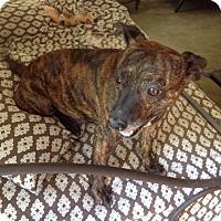 Adopt A Pet :: Gucci - North Little Rock, AR