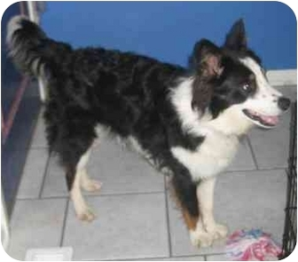 Australian Shepherd/Border Collie Mix Dog for adoption in Overland Park, Kansas - Grayson