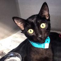 Domestic Shorthair/Domestic Shorthair Mix Cat for adoption in Hattiesburg, Mississippi - Mongoose