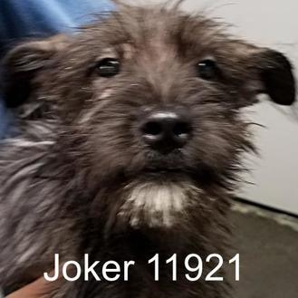 Schnauzer (Standard) Mix Dog for adoption in Manassas, Virginia - Joker