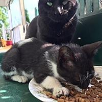 Adopt A Pet :: Milford - Walled Lake, MI