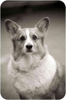 Pembroke Welsh Corgi Dog for adoption in Portland, Oregon - Andy