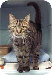 Domestic Shorthair Cat for adoption in Milton, Massachusetts - Roseanne