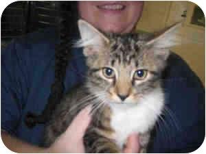 Maine Coon Kitten for adoption in Arlington, Virginia - Sherlock