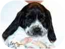 Beagle/Spaniel (Unknown Type) Mix Puppy for adoption in Portland, Oregon - Tully