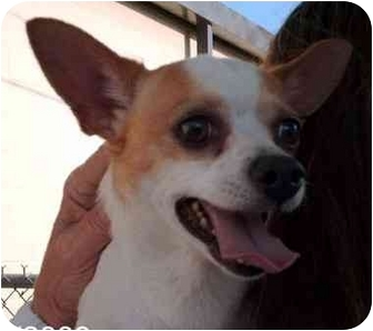 Chihuahua Mix Dog for adoption in Albany, Georgia - Littleman