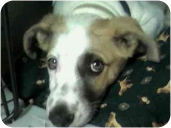 Australian Cattle Dog/Australian Cattle Dog Mix Puppy for adoption in Broomfield, Colorado - 1Captain America
