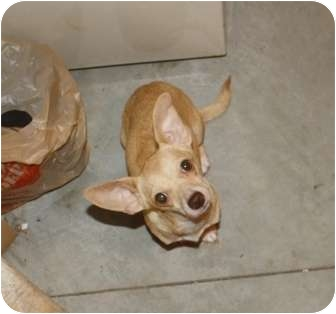 Chihuahua Mix Dog for adoption in Saskatoon, Saskatchewan - Amora