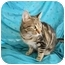 Photo 2 - Domestic Shorthair Cat for adoption in Bay City, Michigan - Star