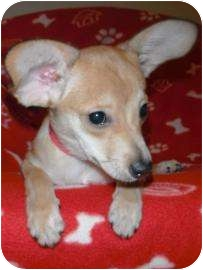 Chihuahua Mix Puppy for adoption in Jackson, Michigan - Gizmo
