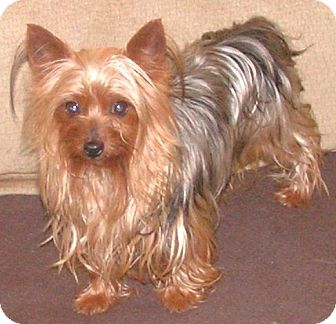 Yorkie, Yorkshire Terrier Dog for adoption in Westport, Connecticut - *Bitsy - PENDING