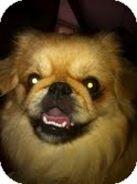 Pekingese Mix Dog for adoption in Richmond, Virginia - Crosby