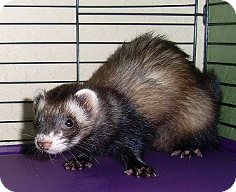 Ferret for adoption in West Palm Beach, Florida - LUCY