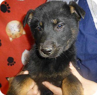 Golden Retriever/German Shepherd Dog Mix Puppy for adoption in Oviedo, Florida - Conner