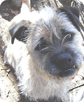 Border Terrier/Cairn Terrier Mix Dog for adoption in Franklinton, North Carolina - TATER