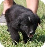 Border Collie/Labrador Retriever Mix Puppy for adoption in Allentown, Pennsylvania - Pete