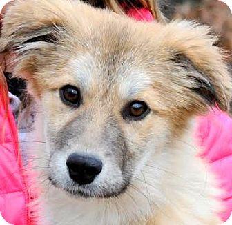 Collie/Golden Retriever Mix Puppy for adoption in Wakefield, Rhode Island - SCOTT(WOW! ADORABLE PUPPY!!