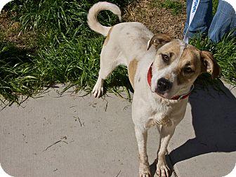 "Terrier (Unknown Type, Medium) Mix Dog for adoption in San Andreas, California - Ariadne (""Ari"")"