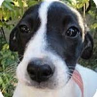 Adopt A Pet :: Gloria ($50 off) - Staunton, VA