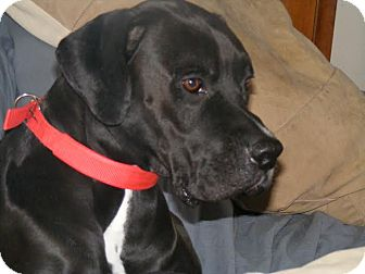 Great Dane/Boxer Mix Dog for adoption in Baden, Pennsylvania - Bentley
