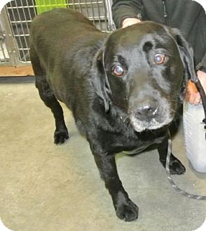 Labrador Retriever Mix Dog for adoption in Redmond, Oregon - Gunner