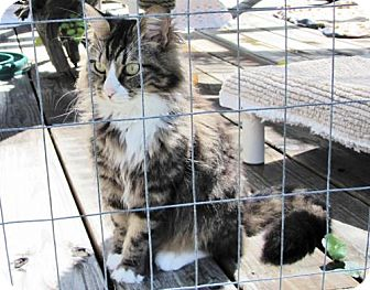 Maine Coon Cat for adoption in Port St. Joe, Florida - Puff