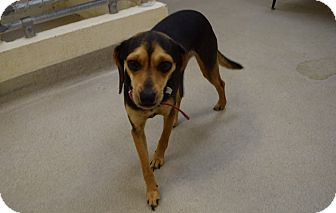 Beagle Mix Dog for adoption in Bucyrus, Ohio - Sophie