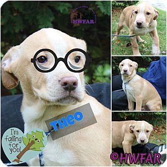 Labrador Retriever Mix Puppy for adoption in Streetsboro, Ohio - Thelo