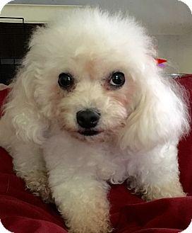 Poodle (Miniature) Dog for adoption in San Pedro, California - Sylvie