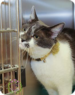 Domestic Shorthair Cat for adoption in Sierra Vista, Arizona - Oreo