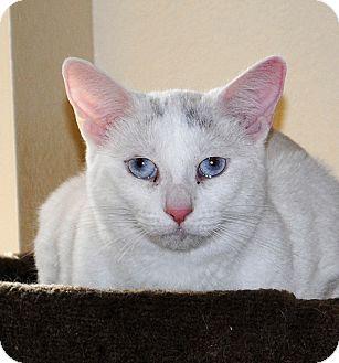 Turkish Van Cat for adoption in Palmdale, California - Harmony