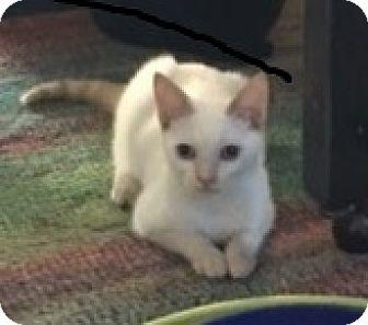 Siamese Kitten for adoption in Houston, Texas - Samuel