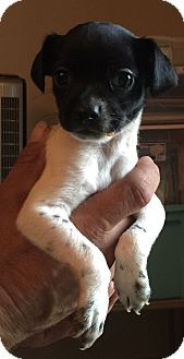 Rat Terrier/Schnauzer (Miniature) Mix Puppy for adoption in Lancaster, Kentucky - Lucario