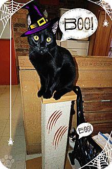 Domestic Shorthair Cat for adoption in Converse, Texas - Cruella