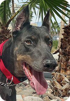 Doberman Pinscher Dog for adoption in Las Vegas, Nevada - Bonnie