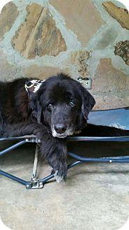 Labrador Retriever/Golden Retriever Mix Dog for adoption in Mount Pleasant, South Carolina - Jumbo