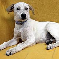 Adopt A Pet :: Jimbo - Westminster, CO