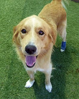 Golden Retriever Mix Puppy for adoption in Purcellville, Virginia - Harley