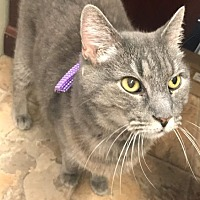 Domestic Shorthair Cat for adoption in Douglas, Wyoming - Grace