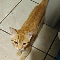 Adopt A Pet :: Pebbles - Orlando, FL