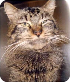 Manx Cat for adoption in Grass Valley, California - Butler