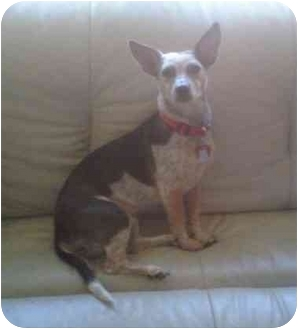 Australian Cattle Dog/Dachshund Mix Dog for adoption in Tracy, California - Patches